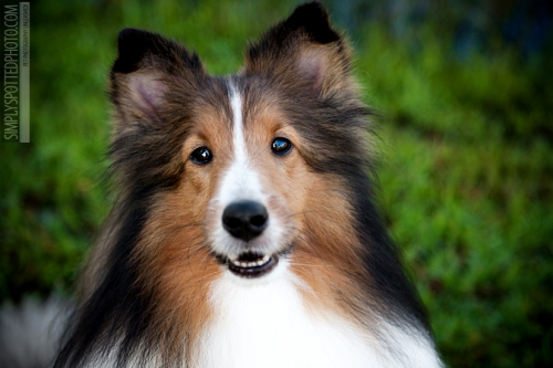 Sheltie_Riley5.jpg